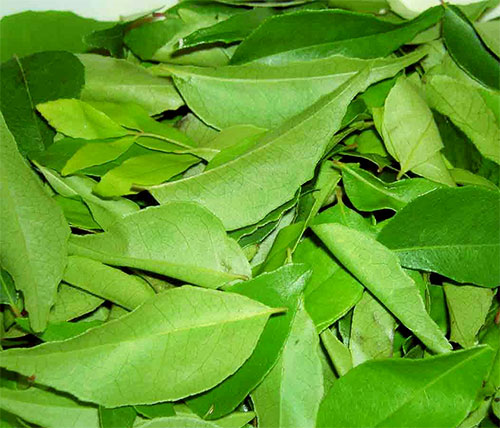 Health Benefits Of Curry Leaves In Hindi With Video